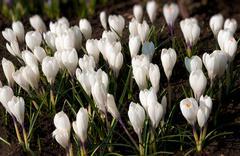 spring holiday crocus flowers - stock photo