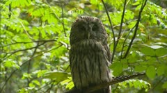 Ural Owl (Strix uralensis) turns head Stock Footage