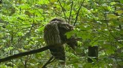 Ural Owl (Strix uralensis) grooming Stock Footage