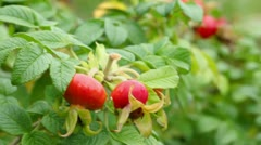 Wet berrys of dog rose with leaves, closeup view at summer day Stock Footage