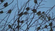Stock Video Footage of Flock of Sparrows Sitting on the Bare Branches of a Tree, Many Birds Standing