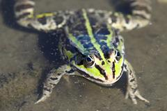 A Green frog head - stock photo