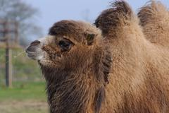 camel chewing grass - stock photo