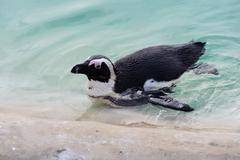 Penguin having a swim Stock Photos