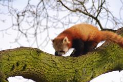 red panda in tree - stock photo