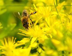 Honeybee (apis mellifera) pollinated yellow flower. Stock Photos