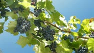 Dark Blue Grapes On The Vine Against Blue Sky Stock Footage
