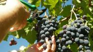 Female Hands Harvesting Grape Stock Footage