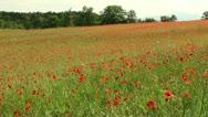Field of swaying poppy flowers Stock Footage