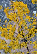 Yellow Lichen - stock photo