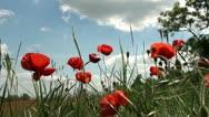 Poppy flowers Stock Footage
