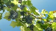 Stock Video Footage of Dark Blue Grapes On The Vine Against Blue Sky