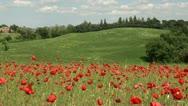 Fields of swaying poppy flowears and wheat Stock Footage