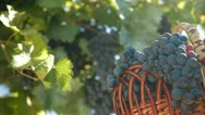 Stock Video Footage of Fresh Harvest Dark Blue Grapes In Basket