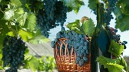 Stock Video Footage of Fresh Grapes In Basket And Bottle Of Wine
