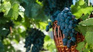 Stock Video Footage of Fresh Dark Blue Grapes In Wicker Basket