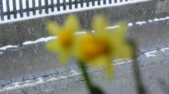 Daffodil with falling snow Stock Footage