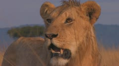 Lion standing in early morning light big close up Stock Footage
