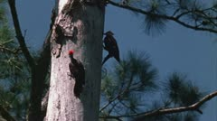 Pileated woodpeckers at nest tree Stock Footage