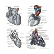 4 views of the human heart - stock illustration