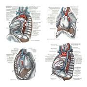 4 views of the heart and thoracic cavity, .. - stock illustration