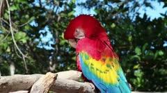 Scarlet Macaw preening Stock Footage