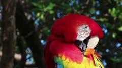 Scarlet Macaw preening - stock footage