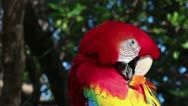 Stock Video Footage of Scarlet Macaw preening