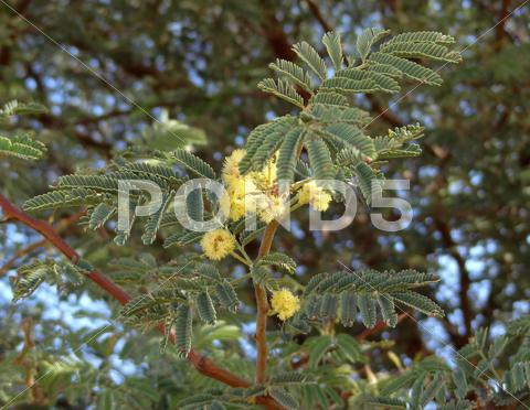 Stock photo of delonix regia