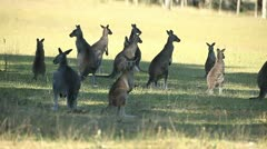 Kangaroos Stock Footage