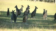 Kangaroos Stock Footage