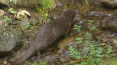 European otter (lutra lutra) roams over rocky stream - stock footage