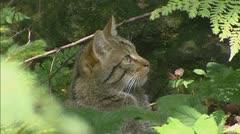 Wildcat (felis sylvestris) in forest grooming Stock Footage