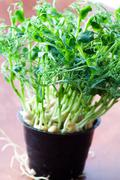 pea sprouts - stock photo