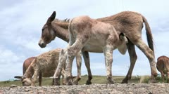 Stock Video Footage of Baby donkey foal suckling