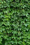 Lush hedge vegetation - stock photo
