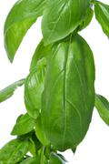 basil, ocimum basilicum - stock photo