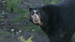 spectacled bear in a zoo - stock footage