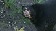 Spectacled bear in a zoo Stock Footage