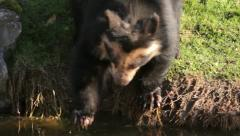 Spectacled bear in a zoo picking up bread thrown by visitors Stock Footage