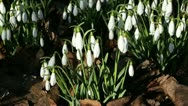 Snowdrops in sunshine waving in the wind Stock Footage