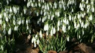 Stock Video Footage of snowdrops in sunshine waving in the wind