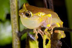 sarayacu treefrog (dendropsophus sarayacuensis) male calling with inflated vo - stock photo