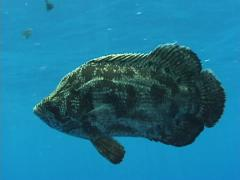 TripleTail Fish Stock Footage