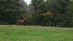 Deer in a field Stock Footage