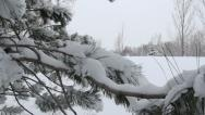 Stock Video Footage of snow covered pine tree branches