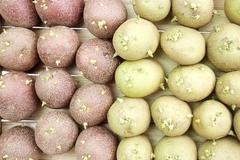 Potato prepared for landing Stock Photos