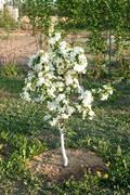 flowering of a dwarfish apple-tree - stock photo