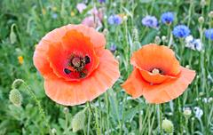 beautiful red poppies blossom among meadow grasses - stock photo