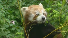 Red panda (ailurus fulgens) Stock Footage
